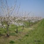 pozemní kapková závlaha v sadu
