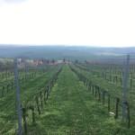 kapková závlaha vinice